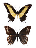 Swallowtails Stock Images