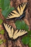 Swallowtails Stock Photos