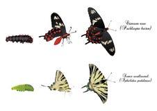 swallowtails Photo libre de droits