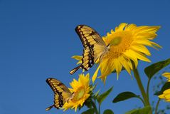Swallowtails auf Sonnenblumen Stockbilder