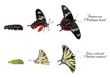 Swallowtails Royalty Free Stock Photo