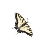 swallowtailtiger Arkivfoto