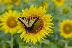 Swallowtailvlinder op een zonnebloem royalty-vrije stock afbeelding