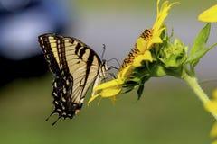 Swallowtailvlinder op een zonnebloem stock foto