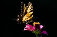 Swallowtailvlinder tegen donkere achtergrond Stock Afbeelding