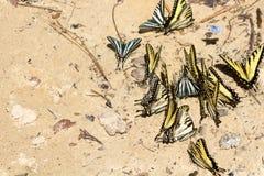 Swallowtailvlinders die zich op zand verzamelen stock fotografie