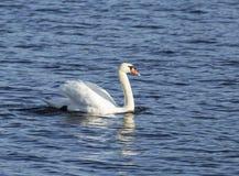 Swam on Blue Lake Stock Photography