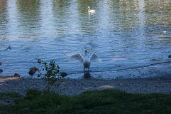 Swam flapping wings Royalty Free Stock Photos