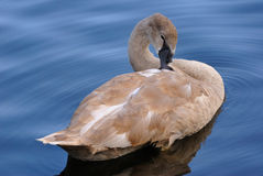 Swam in lake Royalty Free Stock Photography