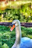 Swam looks Royalty Free Stock Image