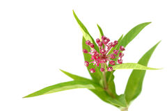 Swam Milkweed Flowers Royalty Free Stock Images