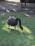 Swam in a park in Australia. Close up of swam in a park in Australia Royalty Free Stock Photos