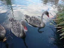 Swam in a park in Australia. Close up of swam in a park in Australia Royalty Free Stock Images