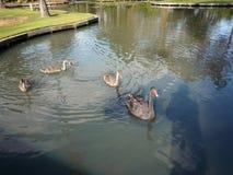 Swam in a park in Australia Stock Photos