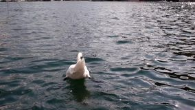 Swam swimming away in beautiful blue water. Beautiful swan bird looking at camera waiting to be feed stock footage