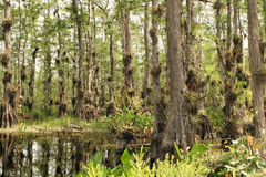 swamp Arkivbild