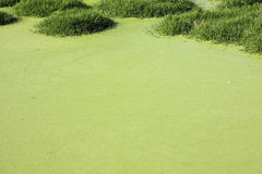 Swamp. Pond covered with algae and weeds stock photo
