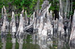Swamp. Louisiana swamp cypress knees in the bayou Royalty Free Stock Photos