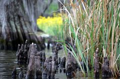Swamp. Louisiana swamp cypress knees flowers and grass in the bayou Stock Photography