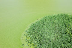 Swamp. Covered with algae, with a grassy island royalty free stock photography