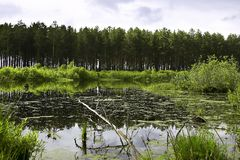 Swamp. In the pine forest Royalty Free Stock Photography