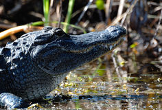 In the Swamp. This is a Florida Gator Stock Photo