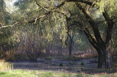 Swamp. With weeping willow tree Stock Image