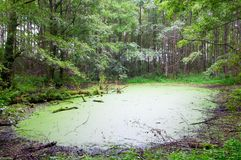 Swamp. View of Swamp in the Green Forest royalty free stock image