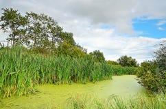 The swamp. With lush vegetation Stock Image