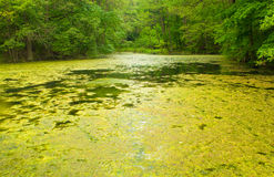 Swamp Royalty Free Stock Photo
