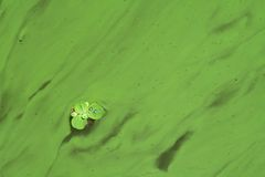 Swamp. Small green plant in green cloloured swamp Stock Images