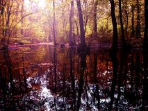 Swamp. Colours setting fire to this woody swamp, with the tree trunks reflected by the burning sunlight Stock Photography
