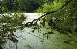 Swamp. Wild swamp covered by green slime Royalty Free Stock Image
