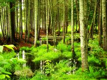 Swamp. A wetlands area with lush moss and trees stock images