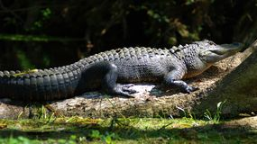 Swamp Alligator Stock Photography