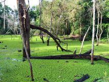 Swamp in Angkor Historical Park Royalty Free Stock Image