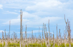 Swamp area with dead trees in the everglades Royalty Free Stock Image