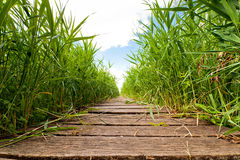 Swamp area and wooden footpath Royalty Free Stock Images