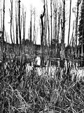 The swamp. Artistic look in black and white. Royalty Free Stock Photography