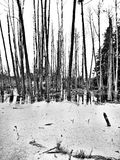 The swamp. Artistic look in black and white. Stock Images