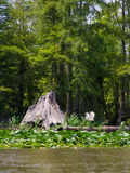 Swamp or bayou. Louisiana swamp or bayou in full green colors Stock Photos