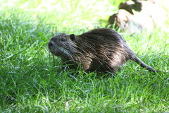 Swamp beaver. A nutria, tail beaver in grass Royalty Free Stock Photo