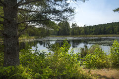Swamp with beaver pond in New London, New Hampshire. Stock Image