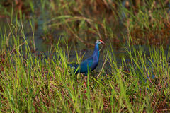 Swamp bird. In Nakhonsawan province of Thailand Royalty Free Stock Photo