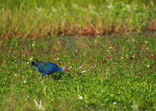 Swamp bird. In Nakhonsawan province of Thailand Royalty Free Stock Image