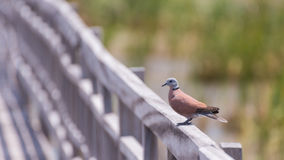 Swamp bird standing on the wooden rail path way Royalty Free Stock Photos