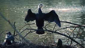 Swamp Bird Stretches Wings. Large black bird stretching and flapping its wings stock video