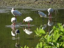 swamp birds in the Everglades stock images