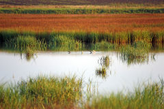 Swamp with birds landscape Stock Images