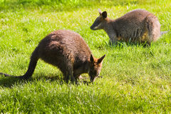 Swamp- or Black Wallabies eating Stock Photos